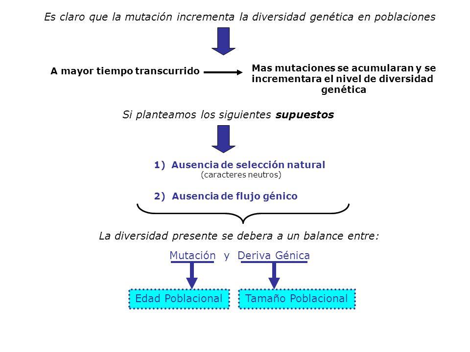 Es claro que la mutación incrementa la diversidad genética en poblaciones A mayor tiempo transcurrido Mas mutaciones se acumularan y se incrementara e