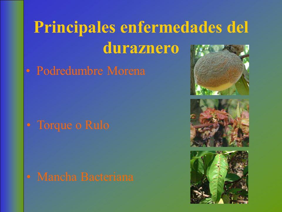 Principales enfermedades del duraznero Podredumbre Morena Torque o Rulo Mancha Bacteriana