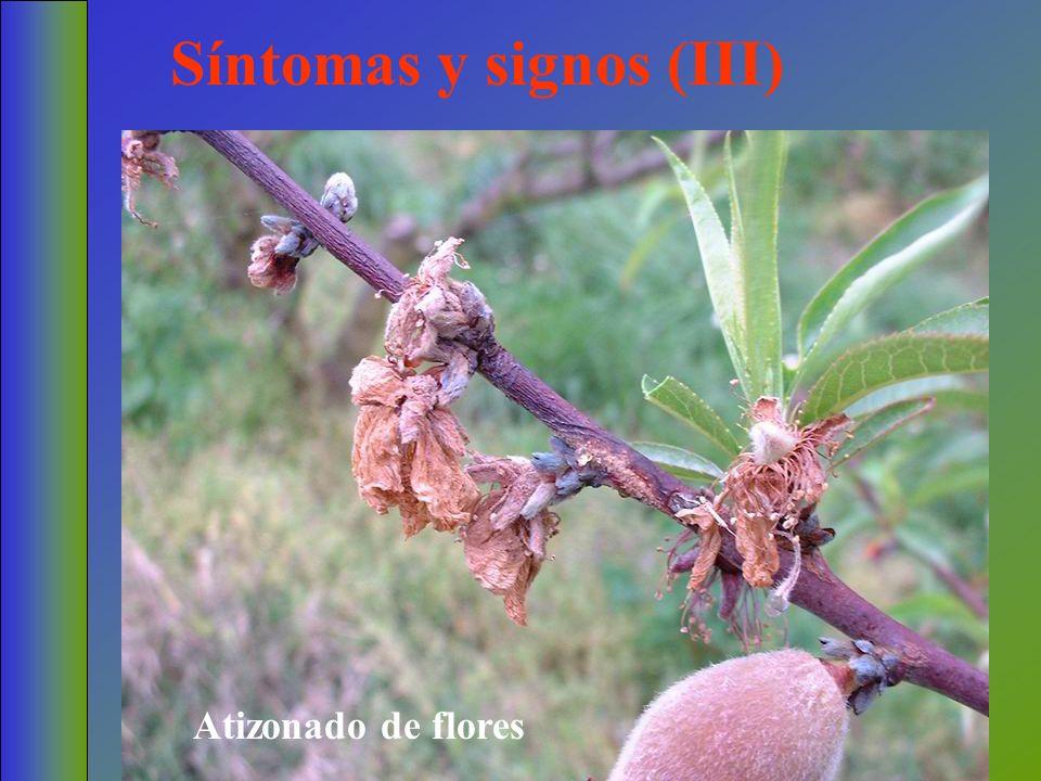 Síntomas y signos (III) Atizonado de flores