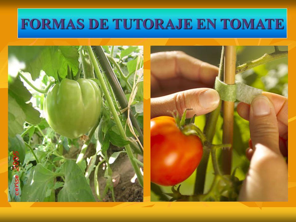 FORMAS DE TUTORAJE EN TOMATE