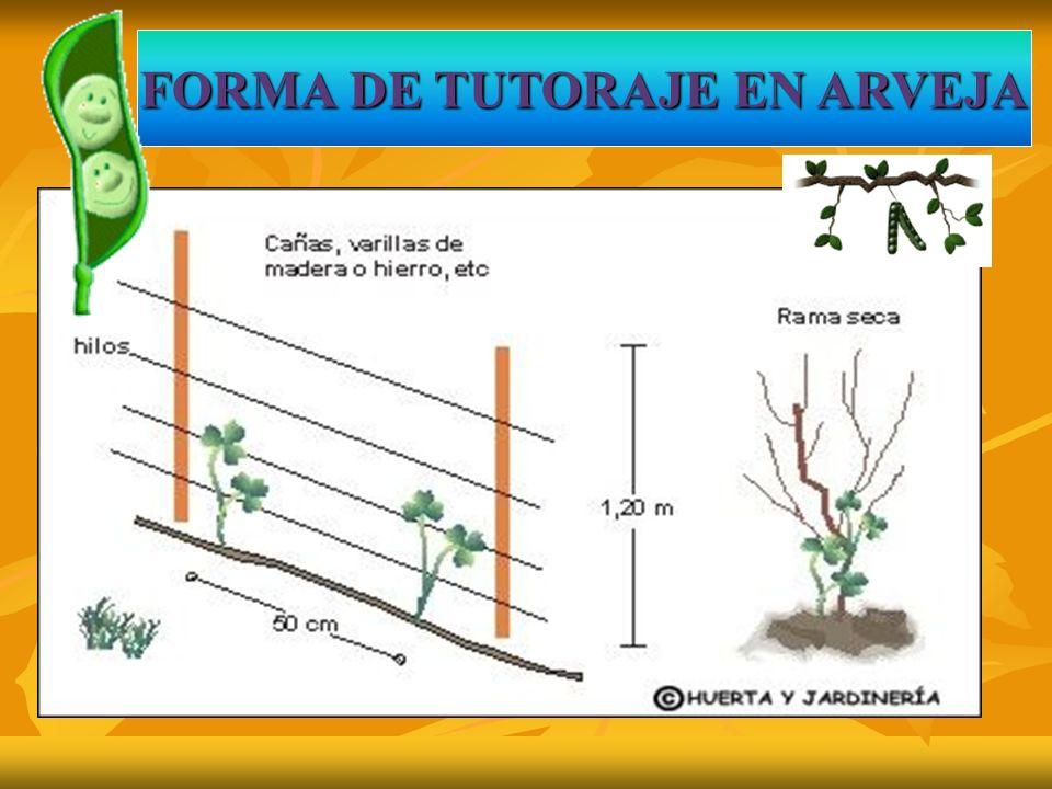 FORMA DE TUTORAJE EN ARVEJA