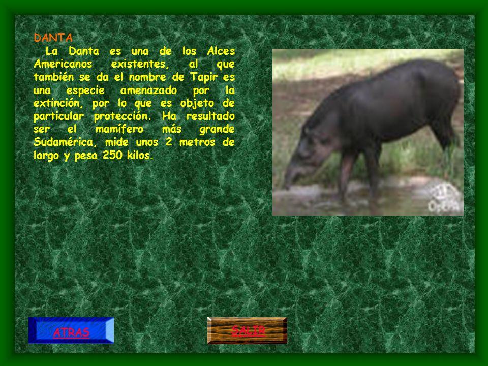 MORROCOY El morrocoy es una tortuga de carne muy apreciada por el hombre por ello se preserva antes de la velocidad humana que de los otros animales, de los cuales se cuida el mismo al encontrarse.
