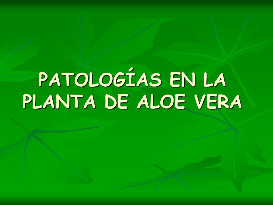 PATOLOGÍAS EN LA PLANTA DE ALOE VERA