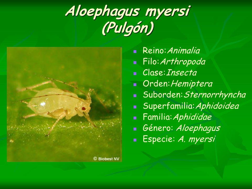 Aloephagus myersi (Pulgón) Reino:Animalia Filo:Arthropoda Clase:Insecta Orden:Hemiptera Suborden:Sternorrhyncha Superfamilia:Aphidoidea Familia:Aphidi