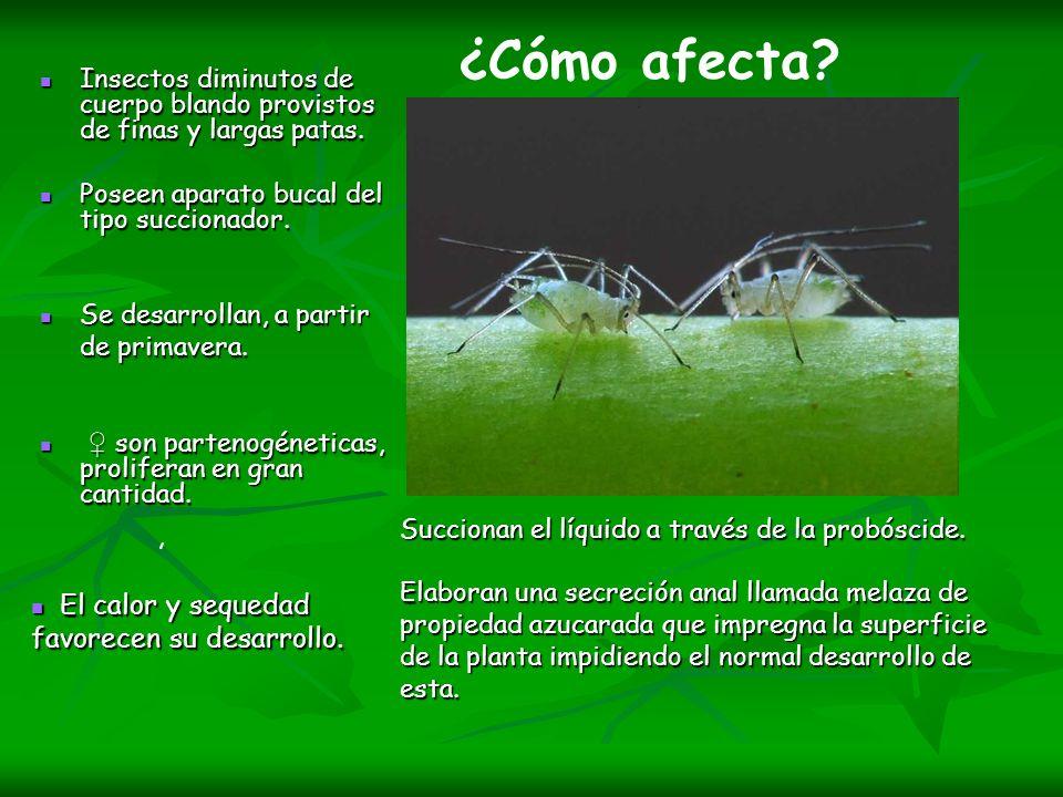 Insectos diminutos de cuerpo blando provistos de finas y largas patas. Insectos diminutos de cuerpo blando provistos de finas y largas patas. Poseen a