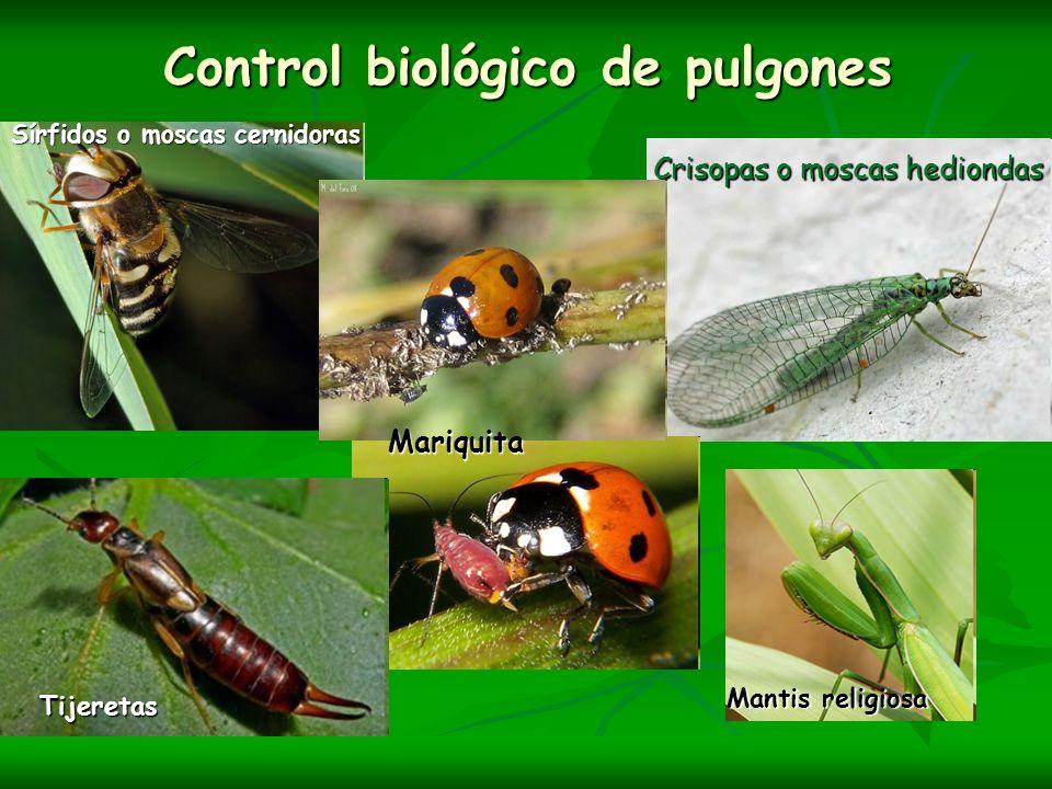 Control biológico de pulgones Sírfidos o moscas cernidoras Crisopas o moscas hediondas Tijeretas Mantis religiosa Mariquita