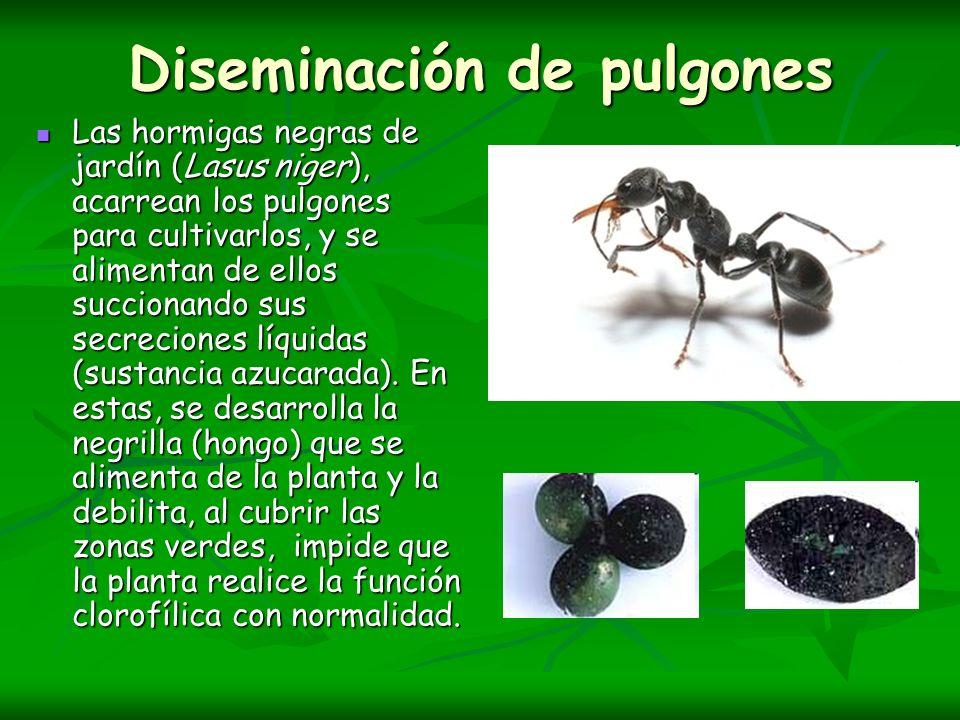 Diseminación de pulgones Las hormigas negras de jardín (Lasus niger), acarrean los pulgones para cultivarlos, y se alimentan de ellos succionando sus