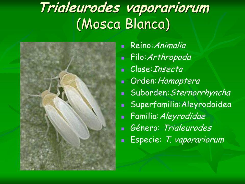Trialeurodes vaporariorum (Mosca Blanca) Reino:Animalia Filo:Arthropoda Clase:Insecta Orden:Homoptera Suborden:Sternorrhyncha Superfamilia:Aleyrodoide
