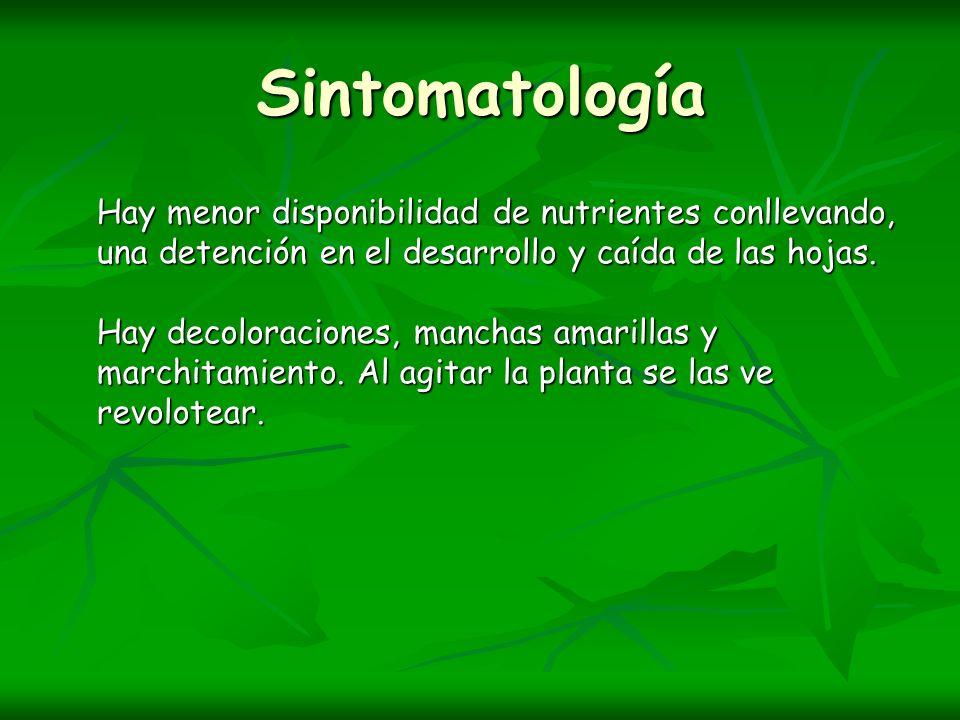 Sintomatología Hay menor disponibilidad de nutrientes conllevando, una detención en el desarrollo y caída de las hojas. Hay decoloraciones, manchas am