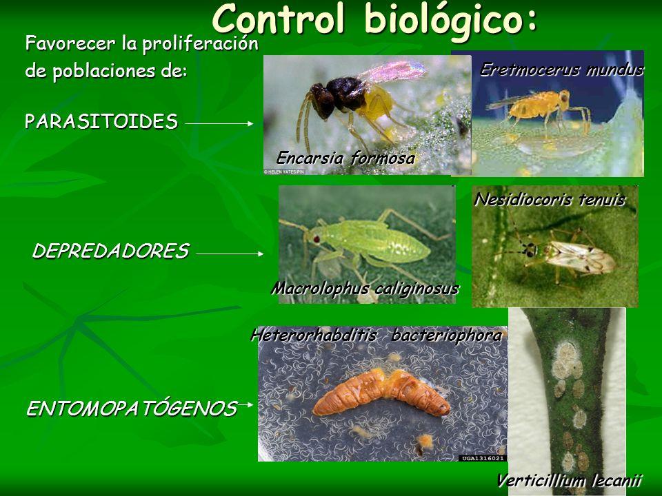 Control biológico: Control biológico: Favorecer la proliferación de poblaciones de: PARASITOIDES DEPREDADORES DEPREDADORESENTOMOPATÓGENOS Encarsia for