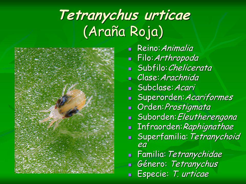 Tetranychus urticae (Araña Roja) Reino:Animalia Reino:Animalia Filo:Arthropoda Filo:Arthropoda Subfilo:Chelicerata Subfilo:Chelicerata Clase:Arachnida