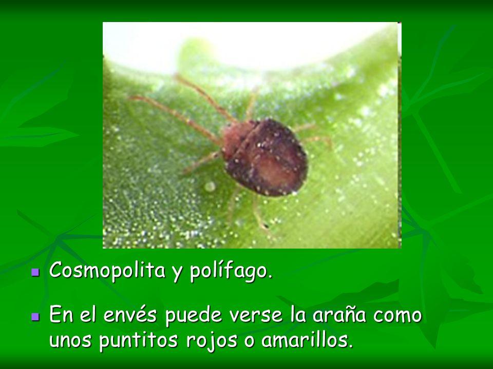 Cosmopolita y polífago. Cosmopolita y polífago. En el envés puede verse la araña como unos puntitos rojos o amarillos. En el envés puede verse la arañ