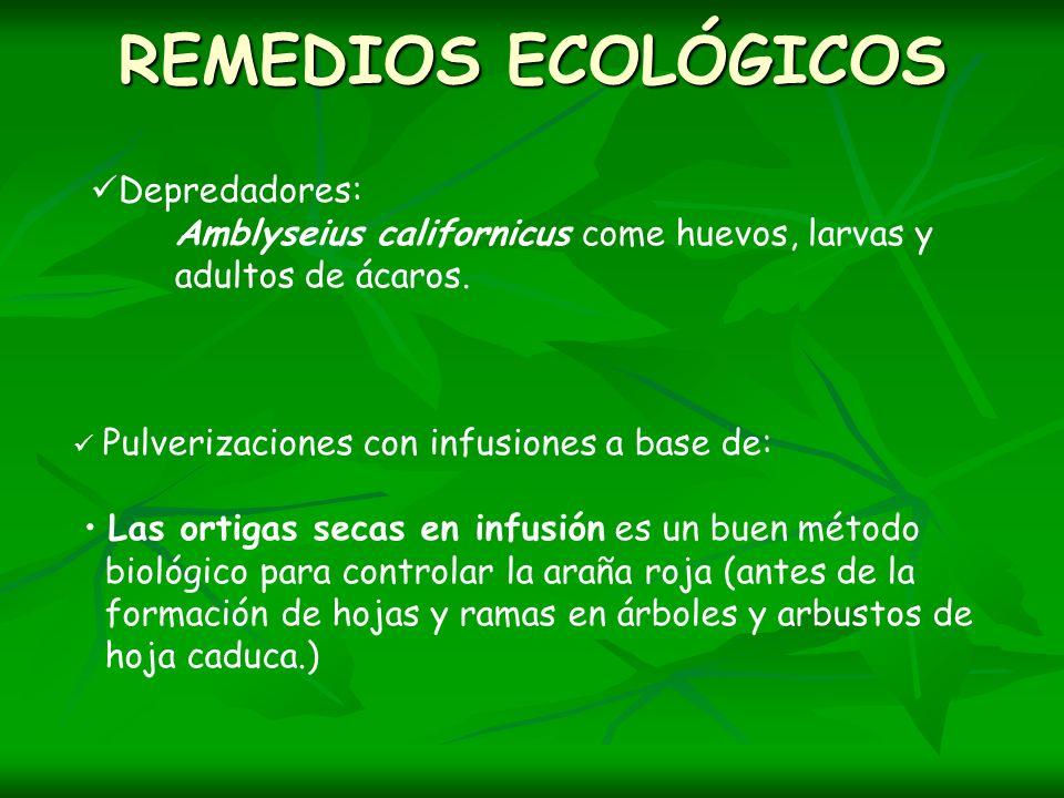 REMEDIOS ECOLÓGICOS Depredadores: Amblyseius californicus come huevos, larvas y adultos de ácaros. Pulverizaciones con infusiones a base de: Las ortig