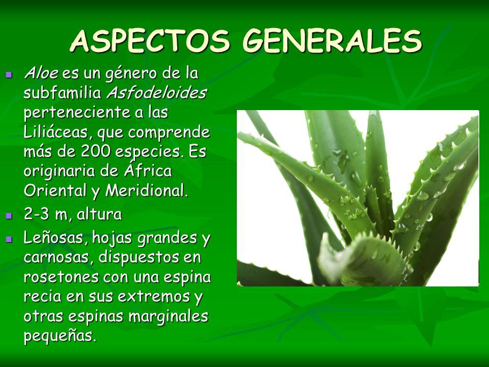 ASPECTOS GENERALES Aloe es un género de la subfamilia Asfodeloides perteneciente a las Liliáceas, que comprende más de 200 especies. Es originaria de