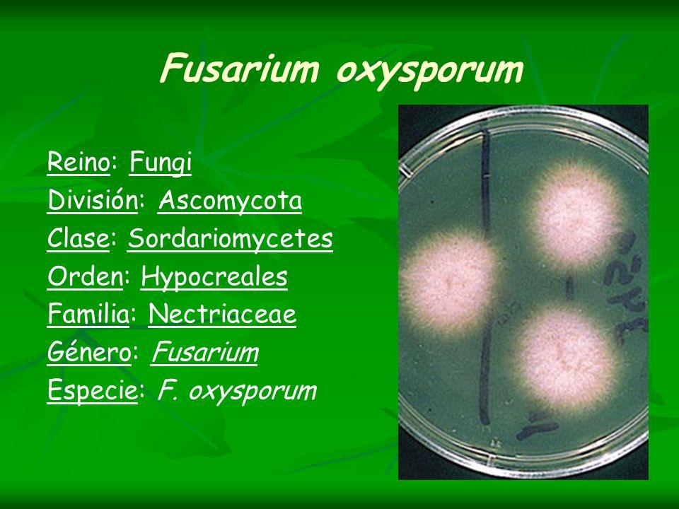Fusarium oxysporum Reino: Fungi División: Ascomycota Clase: Sordariomycetes Orden: Hypocreales Familia: Nectriaceae Género: Fusarium Especie: F. oxysp