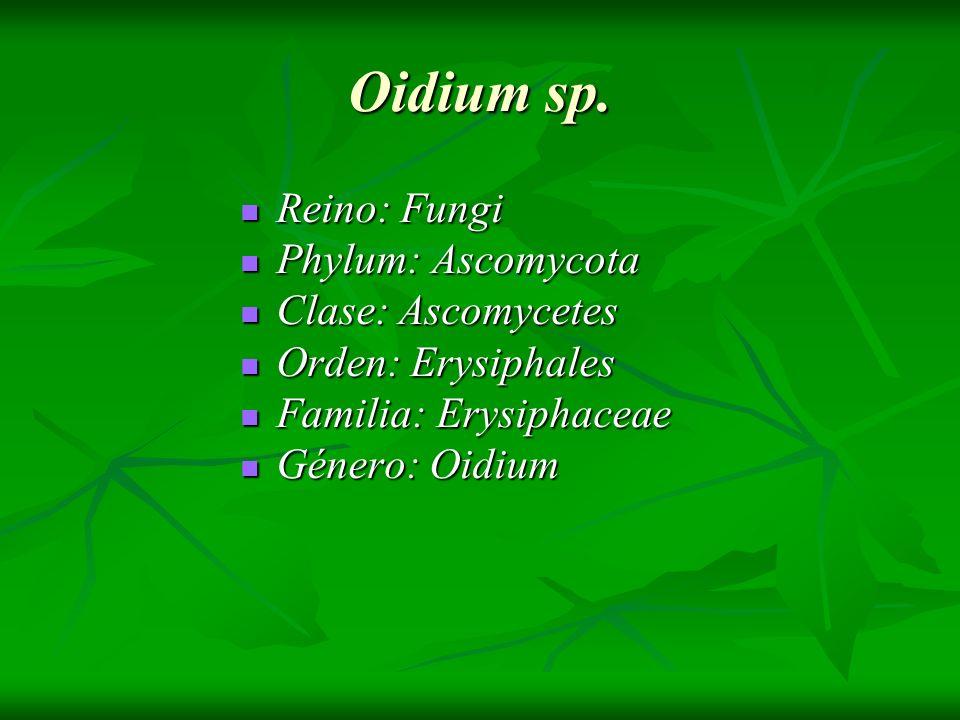 Oidium sp. Reino: Fungi Reino: Fungi Phylum: Ascomycota Phylum: Ascomycota Clase: Ascomycetes Clase: Ascomycetes Orden: Erysiphales Orden: Erysiphales