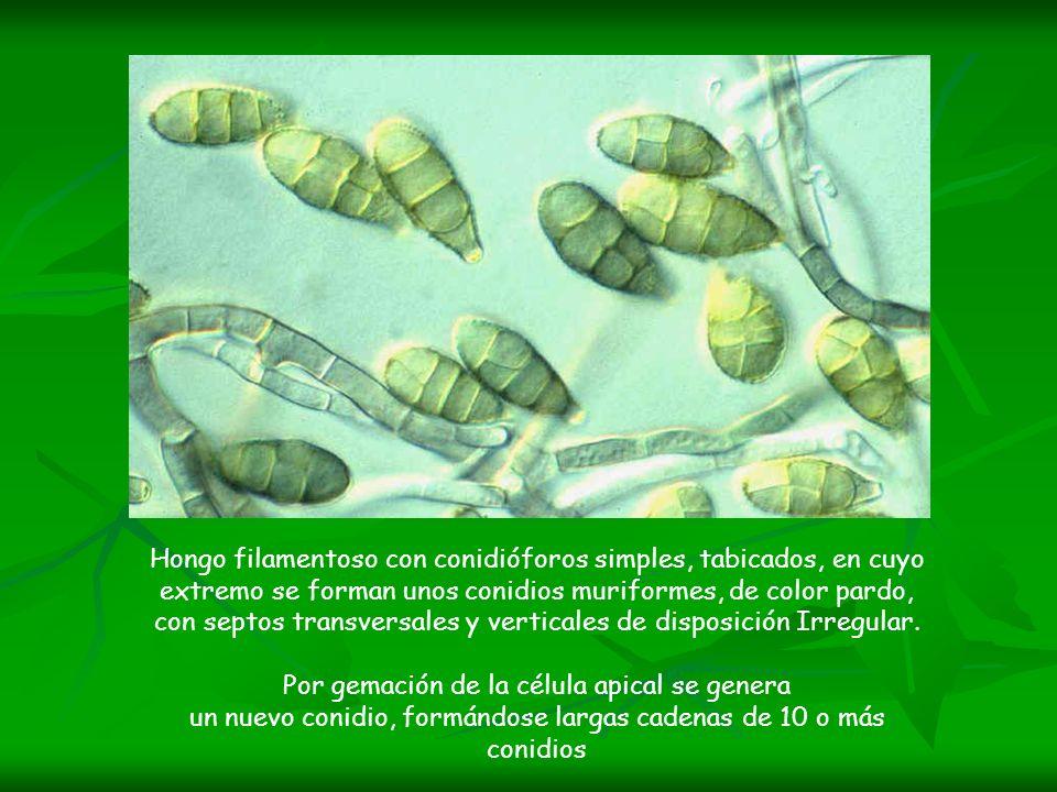 Hongo filamentoso con conidióforos simples, tabicados, en cuyo extremo se forman unos conidios muriformes, de color pardo, con septos transversales y