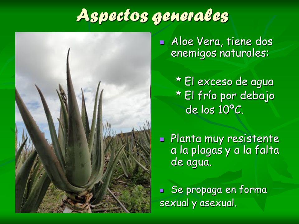 Aspectos generales Aloe Vera, tiene dos enemigos naturales: Aloe Vera, tiene dos enemigos naturales: * El exceso de agua * El exceso de agua * El frío
