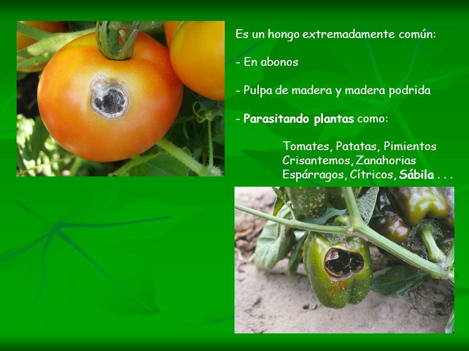 Es un hongo extremadamente común: - En abonos - Pulpa de madera y madera podrida - Parasitando plantas como: Tomates, Patatas, Pimientos Crisantemos,