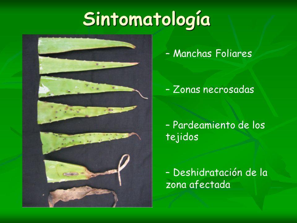 Sintomatología – Manchas Foliares – Zonas necrosadas – Pardeamiento de los tejidos – Deshidratación de la zona afectada