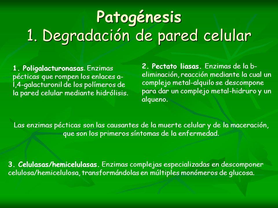 Patogénesis 1. Degradación de pared celular 1. Poligalacturonasas. Enzimas pécticas que rompen los enlaces a- l,4-galacturonil de los polímeros de la