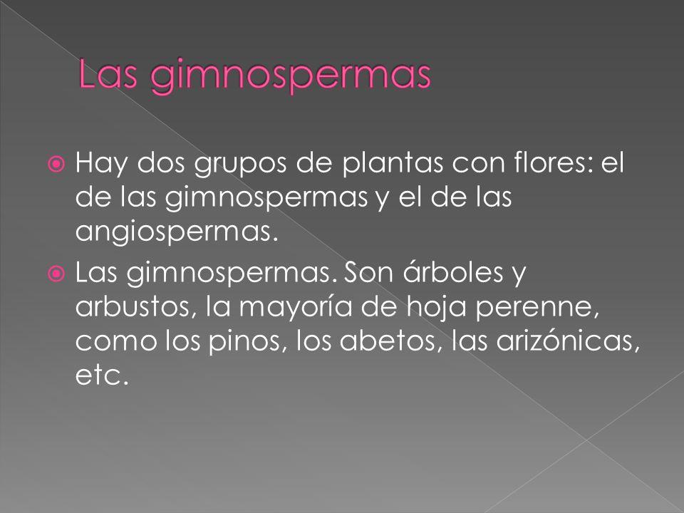 Hay dos grupos de plantas con flores: el de las gimnospermas y el de las angiospermas. Las gimnospermas. Son árboles y arbustos, la mayoría de hoja pe