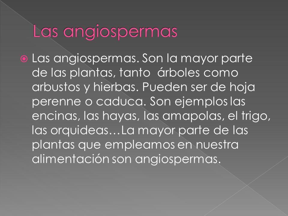 Las angiospermas.Son la mayor parte de las plantas, tanto árboles como arbustos y hierbas.