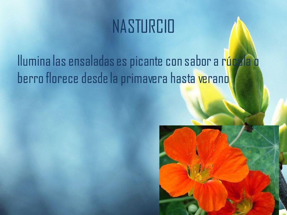 NASTURCIO Ilumina las ensaladas es picante con sabor a rúcula o berro florece desde la primavera hasta verano