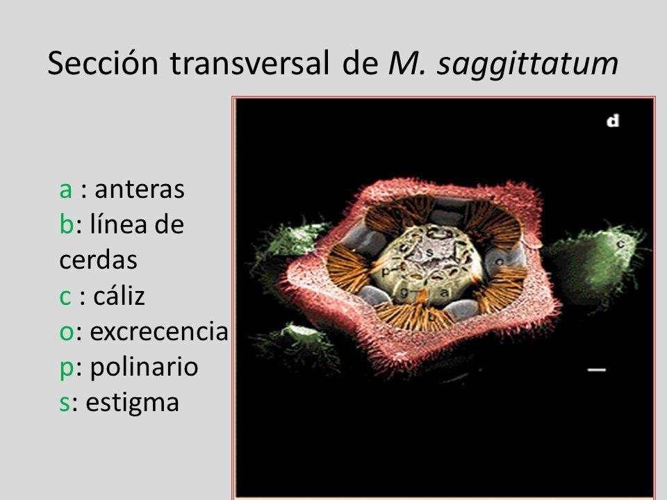 Sección transversal de M. saggittatum a : anteras b: línea de cerdas c : cáliz o: excrecencia p: polinario s: estigma
