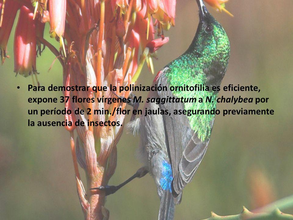 Para demostrar que la polinización ornitofilia es eficiente, expone 37 flores vírgenes M. saggittatum a N. chalybea por un período de 2 min./flor en j