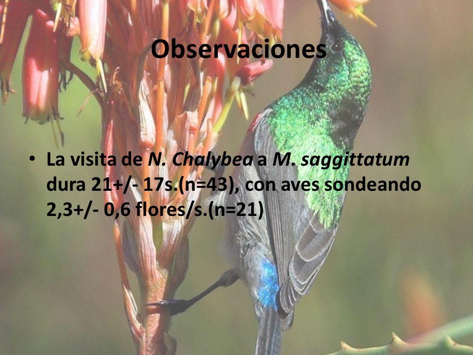 Observaciones La visita de N. Chalybea a M. saggittatum dura 21+/- 17s.(n=43), con aves sondeando 2,3+/- 0,6 flores/s.(n=21)