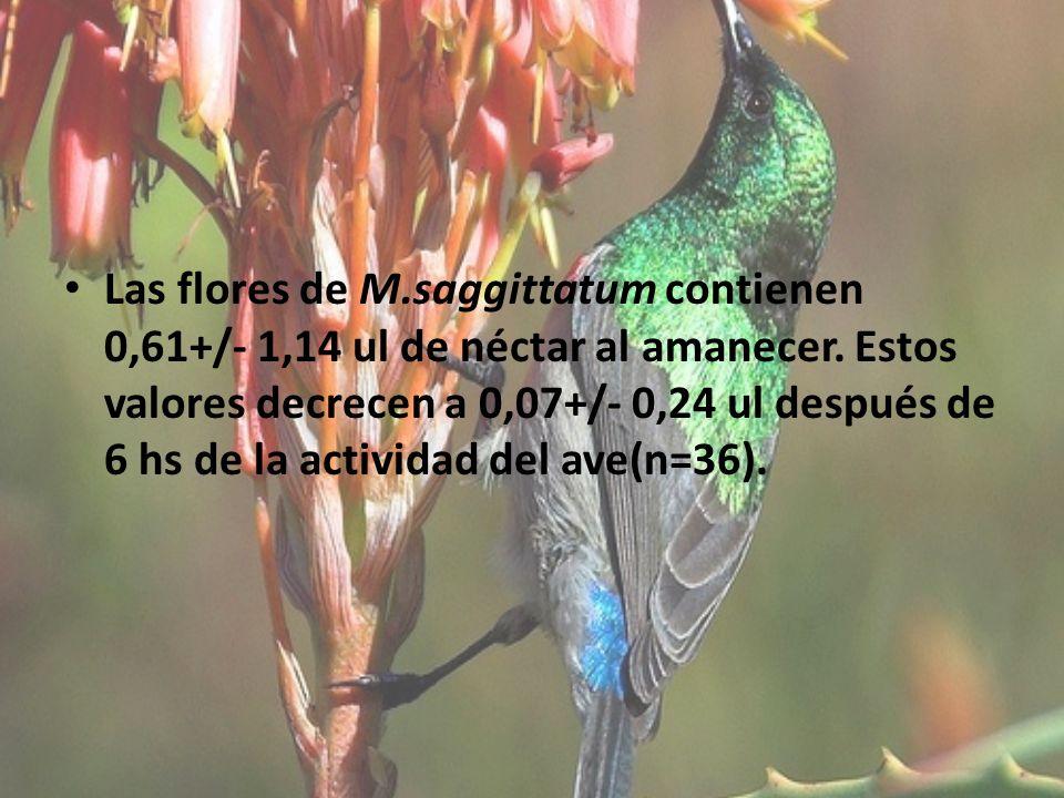 Las flores de M.saggittatum contienen 0,61+/- 1,14 ul de néctar al amanecer. Estos valores decrecen a 0,07+/- 0,24 ul después de 6 hs de la actividad