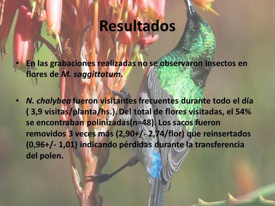 Resultados En las grabaciones realizadas no se observaron insectos en flores de M. saggittatum. N. chalybea fueron visitantes frecuentes durante todo