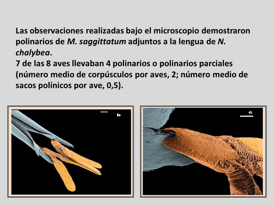 Las observaciones realizadas bajo el microscopio demostraron polinarios de M. saggittatum adjuntos a la lengua de N. chalybea. 7 de las 8 aves llevaba