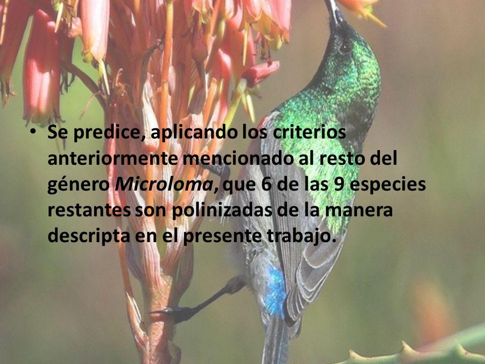Se predice, aplicando los criterios anteriormente mencionado al resto del género Microloma, que 6 de las 9 especies restantes son polinizadas de la ma
