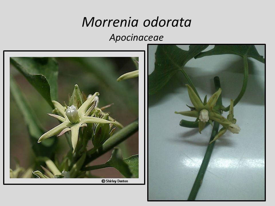 Morrenia odorata Apocinaceae