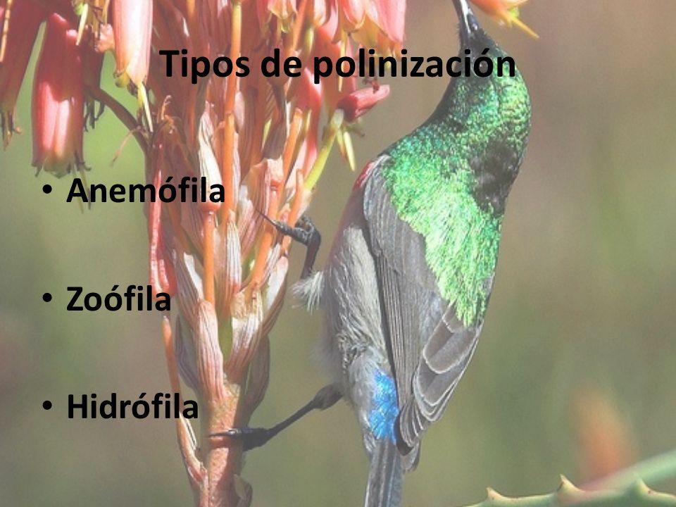 Tipos de polinización Anemófila Zoófila Hidrófila