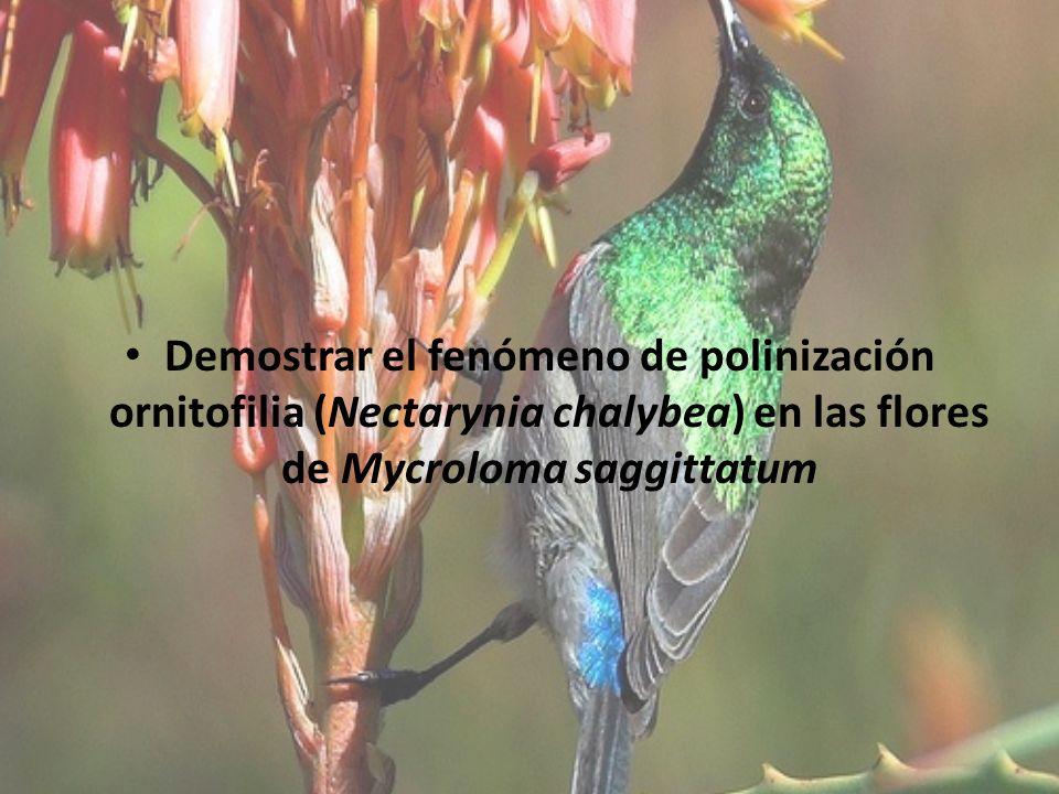 Demostrar el fenómeno de polinización ornitofilia (Nectarynia chalybea) en las flores de Mycroloma saggittatum