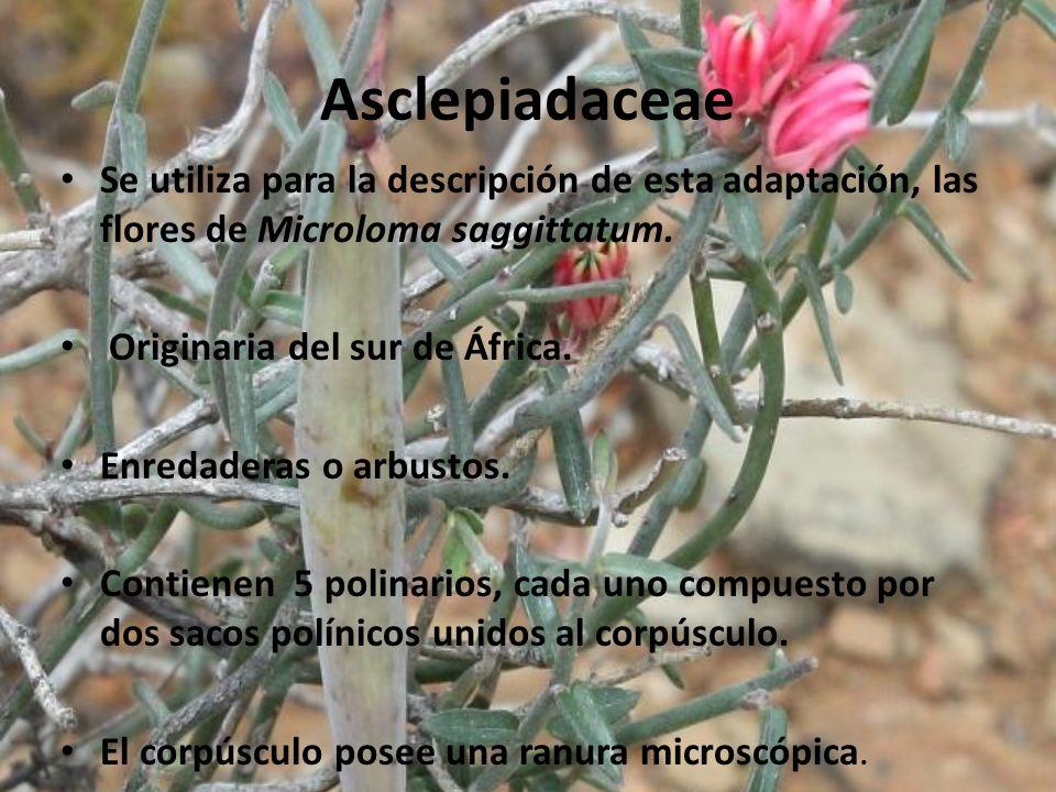 Asclepiadaceae Se utiliza para la descripción de esta adaptación, las flores de Microloma saggittatum. Originaria del sur de África. Enredaderas o arb