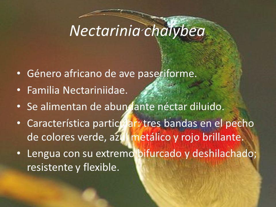 Nectarinia chalybea Género africano de ave paseriforme. Familia Nectariniidae. Se alimentan de abundante néctar diluido. Característica particular: tr