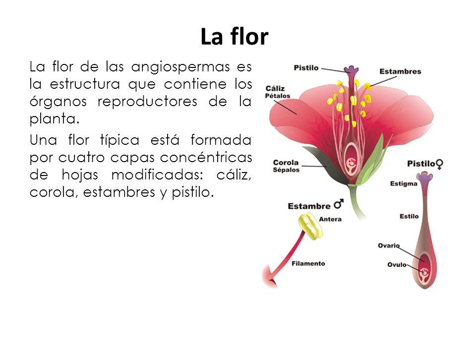 La flor de las angiospermas es la estructura que contiene los órganos reproductores de la planta. Una flor típica está formada por cuatro capas concén