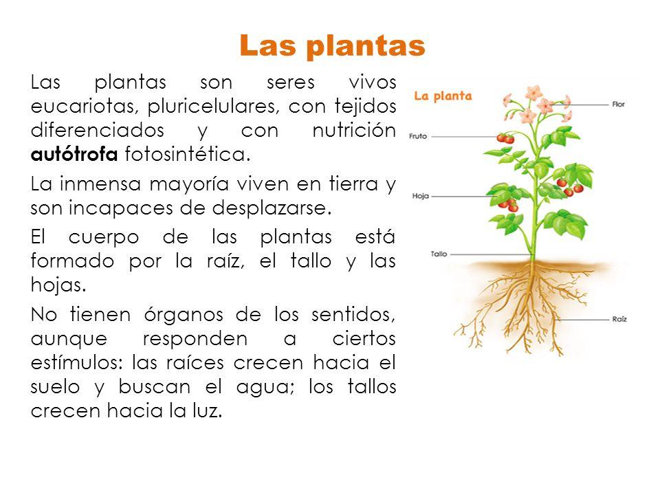 Las plantas Las plantas son seres vivos eucariotas, pluricelulares, con tejidos diferenciados y con nutrición autótrofa fotosintética. La inmensa mayo