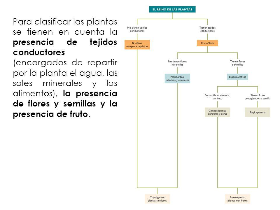Para clasificar las plantas se tienen en cuenta la presencia de tejidos conductores (encargados de repartir por la planta el agua, las sales minerales