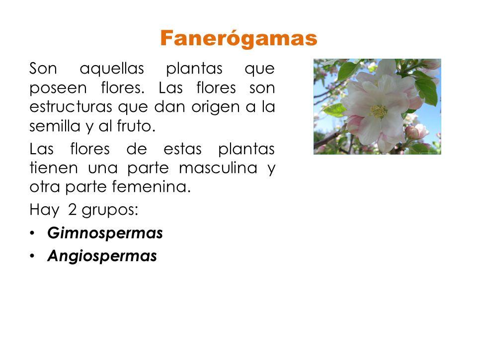 Fanerógamas Son aquellas plantas que poseen flores. Las flores son estructuras que dan origen a la semilla y al fruto. Las flores de estas plantas tie