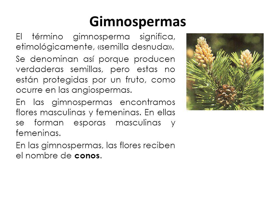 El término gimnosperma significa, etimológicamente, «semilla desnuda». Se denominan así porque producen verdaderas semillas, pero estas no están prote