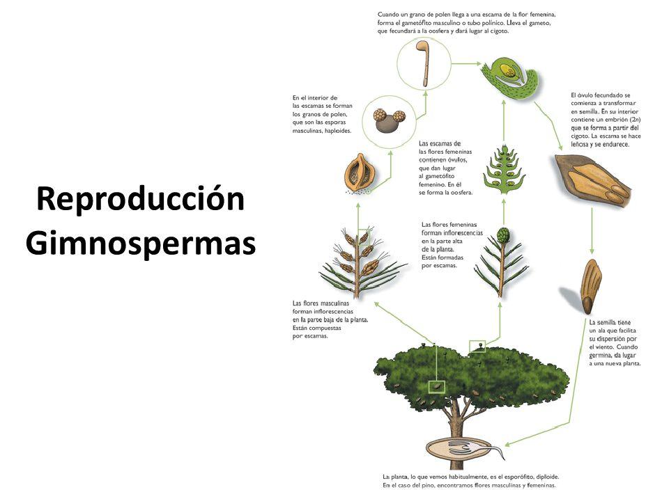 Esenciales para la vida de todos los animales terrestres y, por supuesto, para las personas, las angiospermas son las plantas más conocidas por todos.