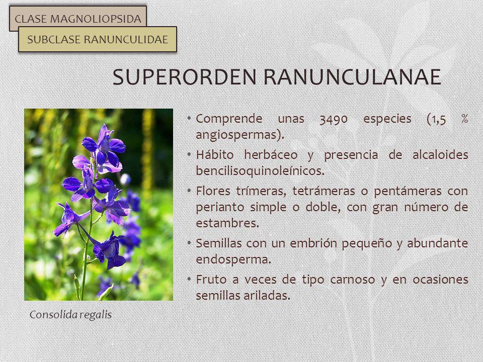 Comprende unas 3490 especies (1,5 % angiospermas). Hábito herbáceo y presencia de alcaloides bencilisoquinoleínicos. Flores trímeras, tetrámeras o pen