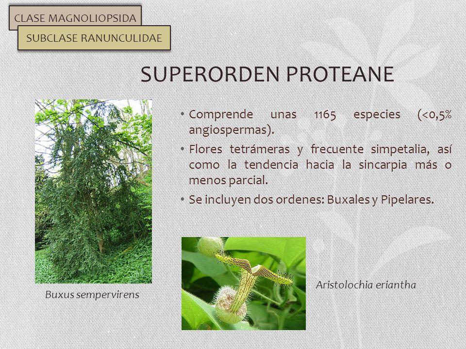 Comprende unas 1165 especies (<0,5% angiospermas). Flores tetrámeras y frecuente simpetalia, así como la tendencia hacia la sincarpia más o menos parc