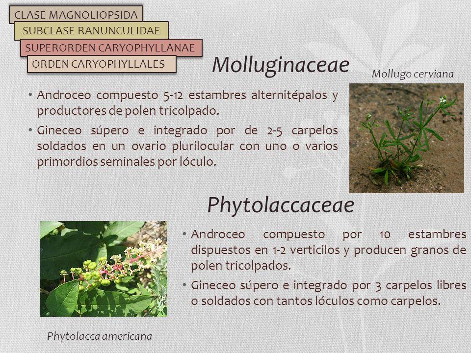 Androceo compuesto 5-12 estambres alternitépalos y productores de polen tricolpado. Gineceo súpero e integrado por de 2-5 carpelos soldados en un ovar
