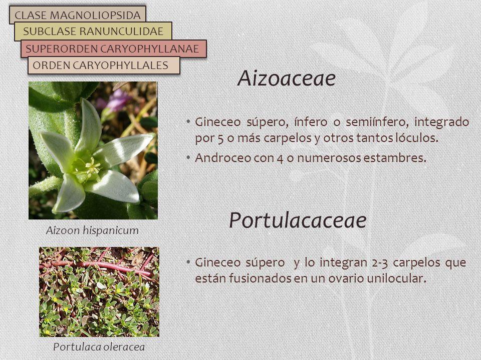 Gineceo súpero, ínfero o semiínfero, integrado por 5 o más carpelos y otros tantos lóculos. Androceo con 4 o numerosos estambres. Aizoaceae CLASE MAGN